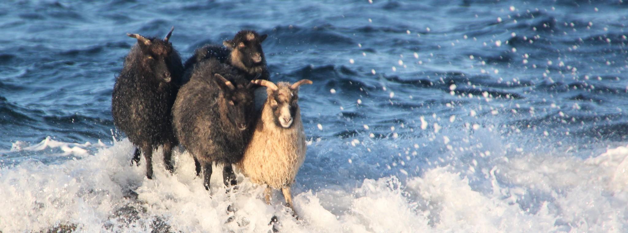 sheep stranded